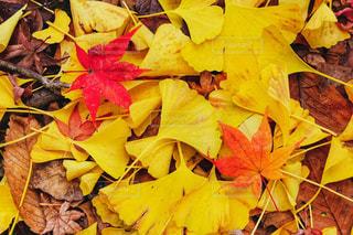紅葉と銀杏の写真・画像素材[2570556]