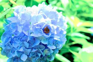 紫陽花とカタツムリの写真・画像素材[3326362]