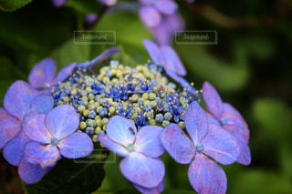 心を落ち着かせる、紫アジサイ・・・。の写真・画像素材[708932]
