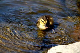 小鴨と水面 - No.758330