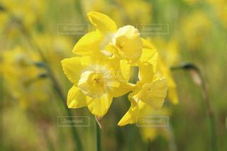 黄色い花の写真・画像素材[2203626]