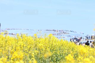 野原の黄色い花の写真・画像素材[2203634]