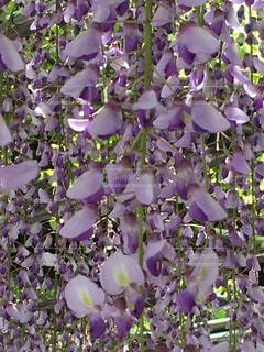 藤の花の写真・画像素材[1160055]