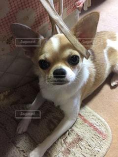 犬の写真・画像素材[701926]