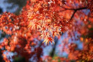 晩秋の紅葉の写真・画像素材[859079]