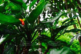 木の実の写真・画像素材[720053]