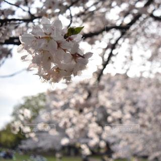 桜の写真・画像素材[1093638]