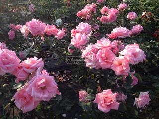 Pink roseの写真・画像素材[751450]