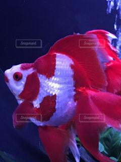 綺麗な金魚の写真・画像素材[759291]