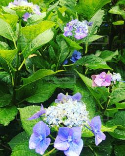 紫陽花 - No.760419