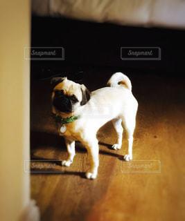 部屋に小さな白い犬立っての写真・画像素材[717549]
