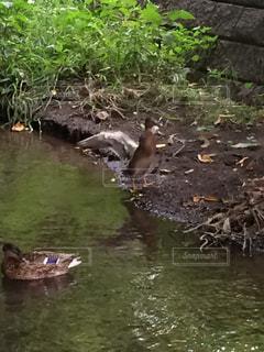 水の中を泳ぐ鳥の写真・画像素材[709639]