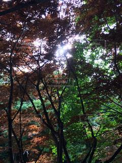 森の大きな木の写真・画像素材[709662]