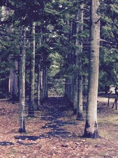 フォレスト内のツリーの写真・画像素材[752455]