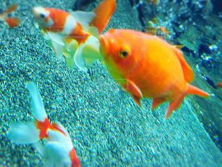 金魚 - No.898374