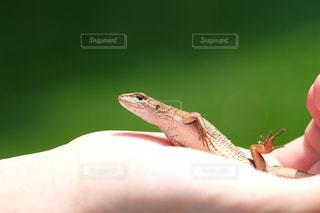 爬虫類の写真・画像素材[703080]