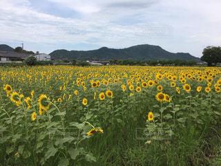 フィールド内の黄色の花の写真・画像素材[745754]