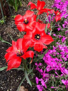 庭の赤い花の写真・画像素材[1134511]