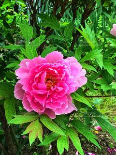 緑の葉とピンクの花の写真・画像素材[1157553]