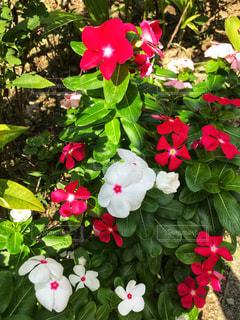 植物にピンクの花の写真・画像素材[1430055]
