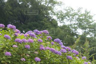 近くの植物に紫の花のアップ - No.720780