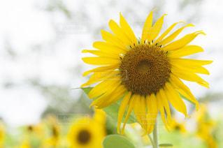 黄色の花 - No.720833