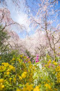フィールド内の黄色の花の写真・画像素材[1197349]