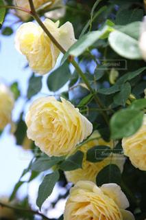 近くの花のアップの写真・画像素材[1216966]