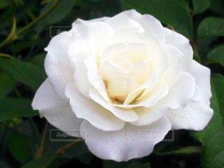 白いバラの写真・画像素材[744620]