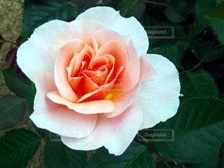 淡いピンク色のバラの写真・画像素材[744673]