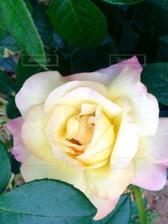 黄色いバラの花の写真・画像素材[744692]