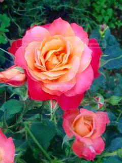 グラデーションのバラ - No.744761