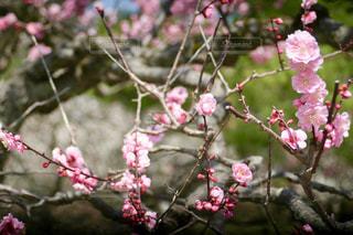 兼六園の梅の花の写真・画像素材[1091504]