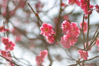 兼六園の紅梅の写真・画像素材[1091505]