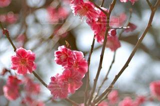兼六園の紅梅 - No.1091506