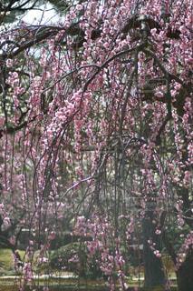 兼六園の枝垂れ梅の写真・画像素材[1091507]