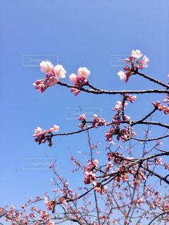兼六園の早咲き桜の写真・画像素材[1091508]