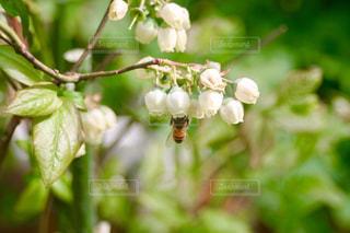 ブルーベリーの花とミツバチの写真・画像素材[1150145]
