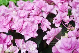 紫陽花の写真・画像素材[1181262]