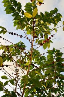 コーヒーの木の写真・画像素材[1209200]