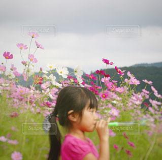 コスモス畑と女の子の写真・画像素材[1533647]