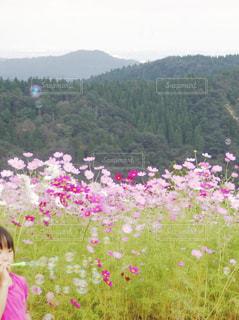 コスモス畑とシャボン玉の写真・画像素材[1533648]