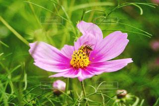 ミツバチとコスモスの写真・画像素材[1533730]