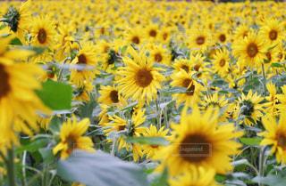 ひまわり畑の写真・画像素材[1627016]
