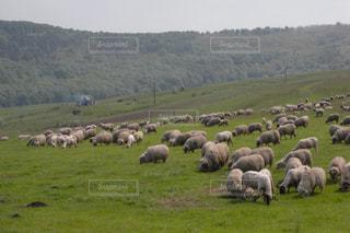 羊 in ルーマニアの写真・画像素材[704449]