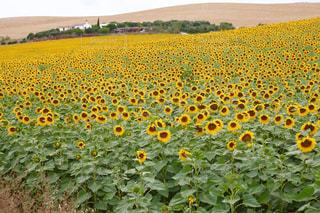 ひまわり畑 in スペイン アンダルシアの写真・画像素材[704450]