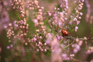 てんとう虫とヒースの花畑 in ドイツの写真・画像素材[704490]