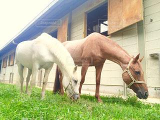 のんびり草をはむ馬たち 4の写真・画像素材[707988]