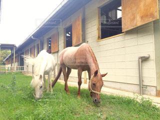 のんびり 草をはむ馬たち 1の写真・画像素材[707991]