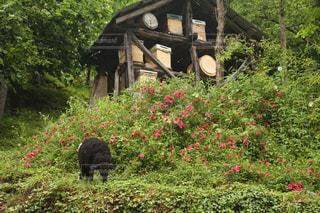 トルコ,草をはむ黒い羊の写真・画像素材[709013]